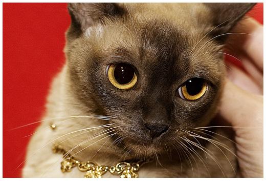 Бурма бурманские кошки бурманская